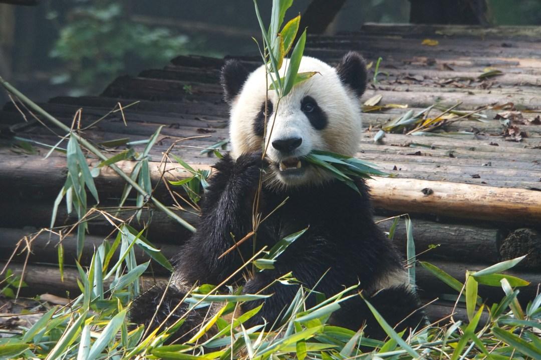 panda-mange