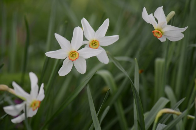 narcisses_sauvages_redmin