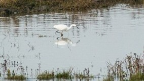 Little Egret at Hesketh Outmarsh