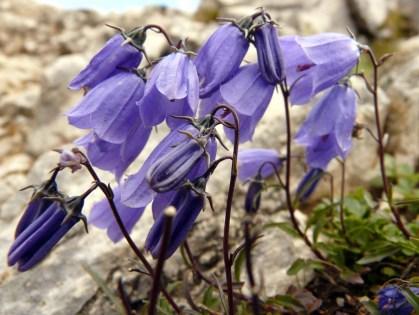gardening-2016-thimble_flower_alpine_flower