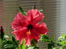 """First Hibiscus of the year"" from Bill S"