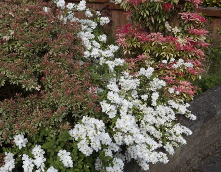 "Bill S indicates, ""Princepia, flanked by Pieris"""