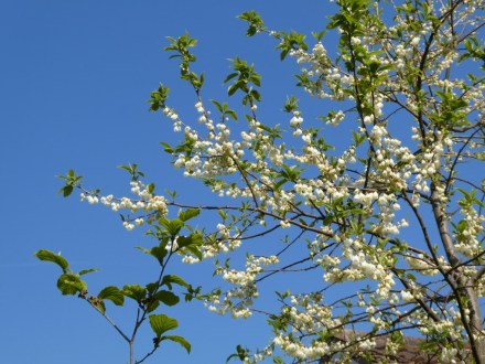 Snowdrop Tree