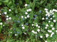 Stitchwort and Germander Speedwell