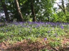 adrienne-1 bluebells