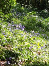 Alayne found prolific bluebells and wild garlic on a trip to Aughton Quarry