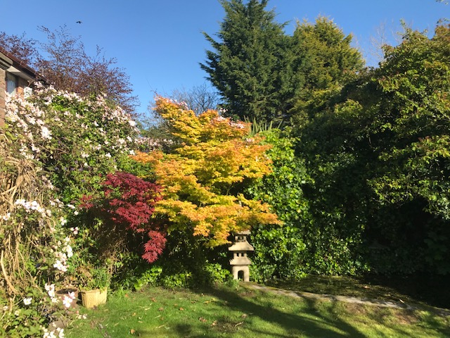 Colourful Acers and clematis climbing over a pergola - beautiful in Spring and Autumn