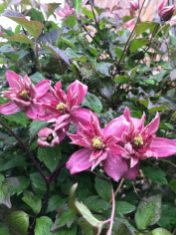 From Terry L's Garden - Clematis ' Marjorie' great over an archway or pergola. A lovely Springtime clematis - masses of flowers and a deep pink colour.