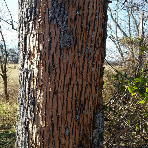 Infected Ash Tree - 3W