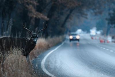 deer on roadways