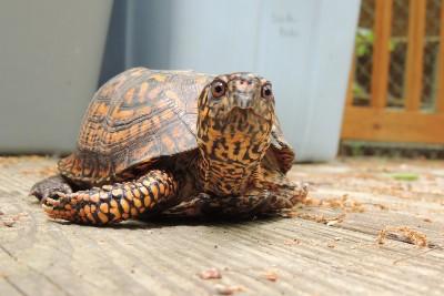 box turtle wildlife center