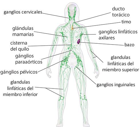 gânglios linfáticos ou locais onde podem ocorrer linfomas