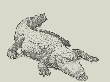 american_alligators