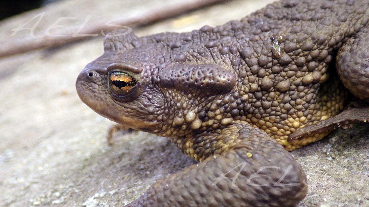 macho de Bufo spinosus