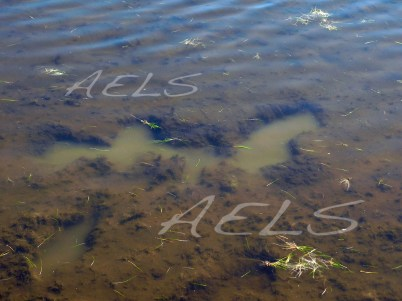 Marcas recientes de pisoteo de las orillas enfangadas.
