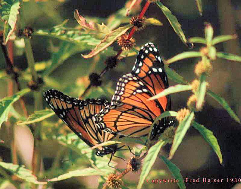 2butterflies4 (2)