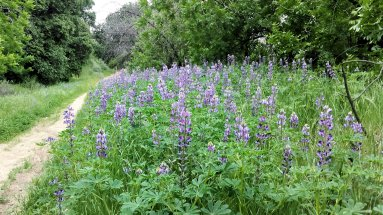 Lupins line the trail for most of the way.
