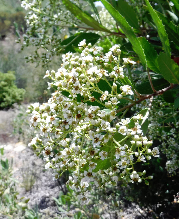 There flowers offer the promise of a large yield of Toyon berries later in the year.