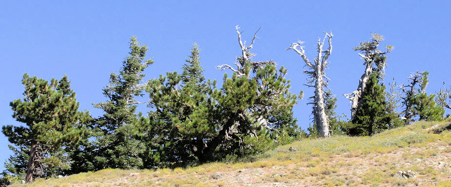 Limber pines on the north slope of Mt. Pinos.