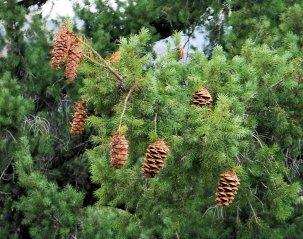 Doulas fir tree cones releasing seeds.