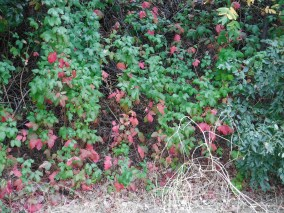 Poison oak is among the first plants to change color in the fall. People who don't know about it make the mistake of collecting the red and even purple foliage for fall color. Bad mistake.