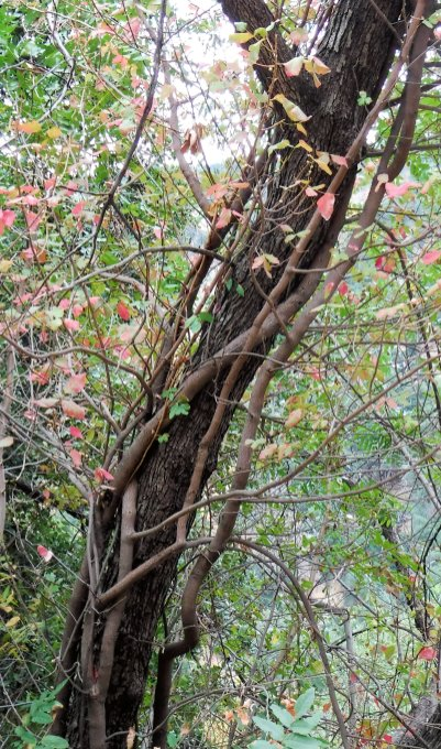 Poison oak is usually a shortish shrub but it can also be a vine that climbs any available tree.