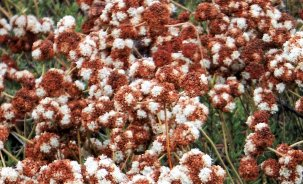 Buckwheat. Soon all the flowers will hae gone to seed and it will all be brown.