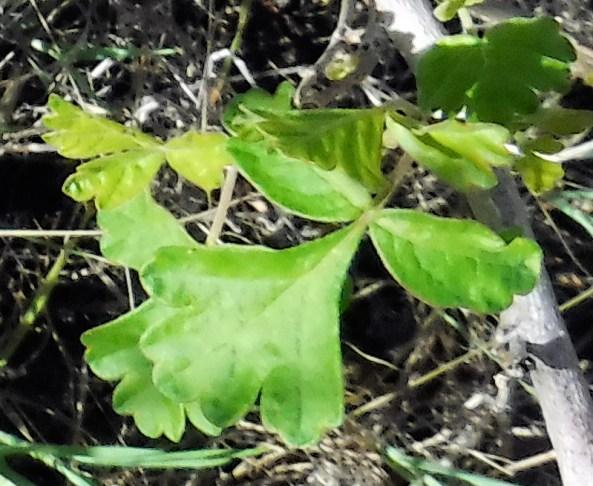 Piru Creek poison oak