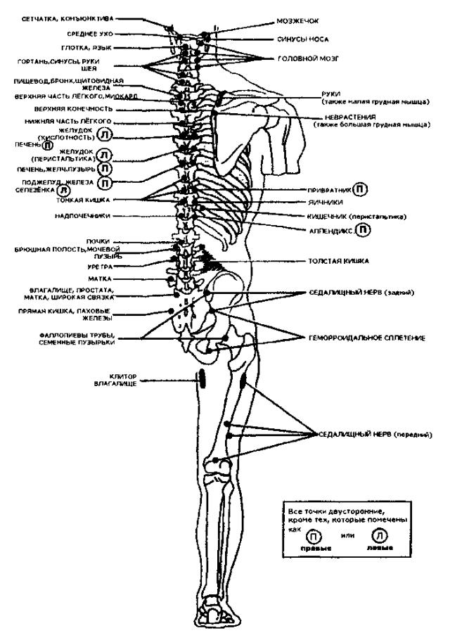 Рис. 42. Задние точки Чэпмена (по R. С. Ward, В. Peterson, 1997)