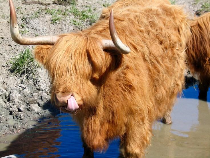 IMG_3250, Highland cattle, haikku, haikut, ylämaa, Jusala, Jusalan tila, laitumella, maatilamatkailu