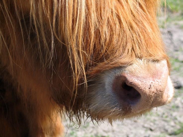 Highland cattle, Ylämaan karja, haikku, haikut, laitumella, Jusala, Salo