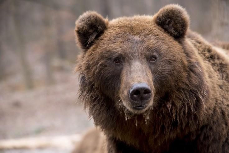 Karhu, Karhusafaari, Kuhmo, Kuusamo, Suomussalmi