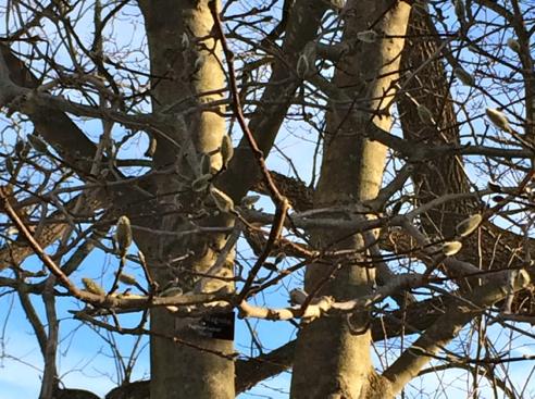 magnolia? buds