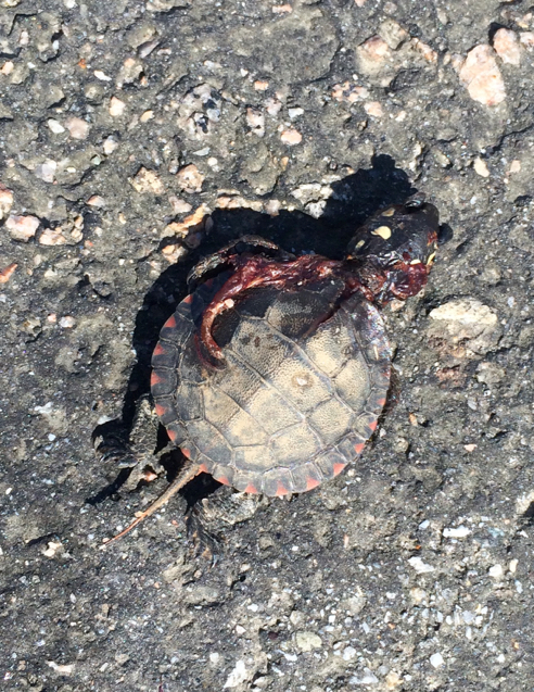 sad baby turtle
