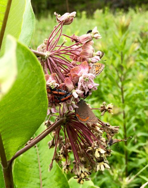 bronze copper butterflies on milkweed