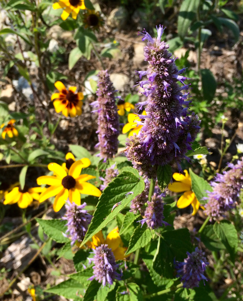 black eyed susans and anise hyssop