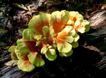 sulphur shelf mushroom