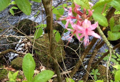 Blurry Swamp Azalea