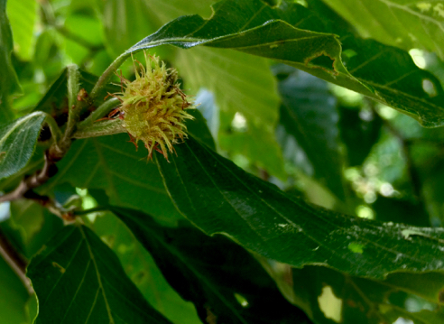 Beech Tree Blossom