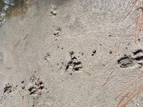 Many, Many More Feral Pig/Hog Tracks
