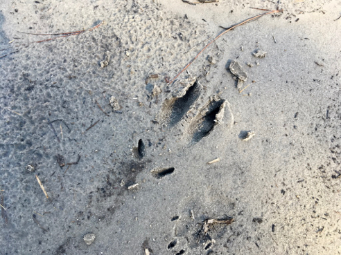 Feral Pig/Hog Tracks