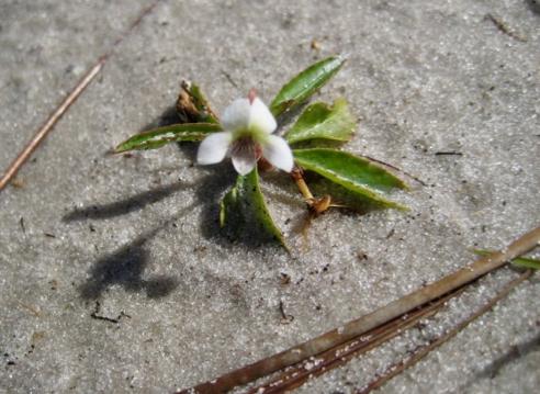 Tiny White Violet