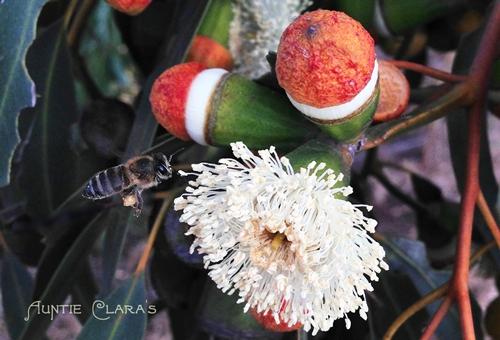 Bee homing in on Eucalyptus gomophocephala