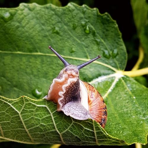 Vineyard snail in Auntie Clara's garden