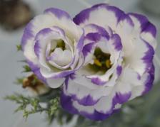 purple pic lisie
