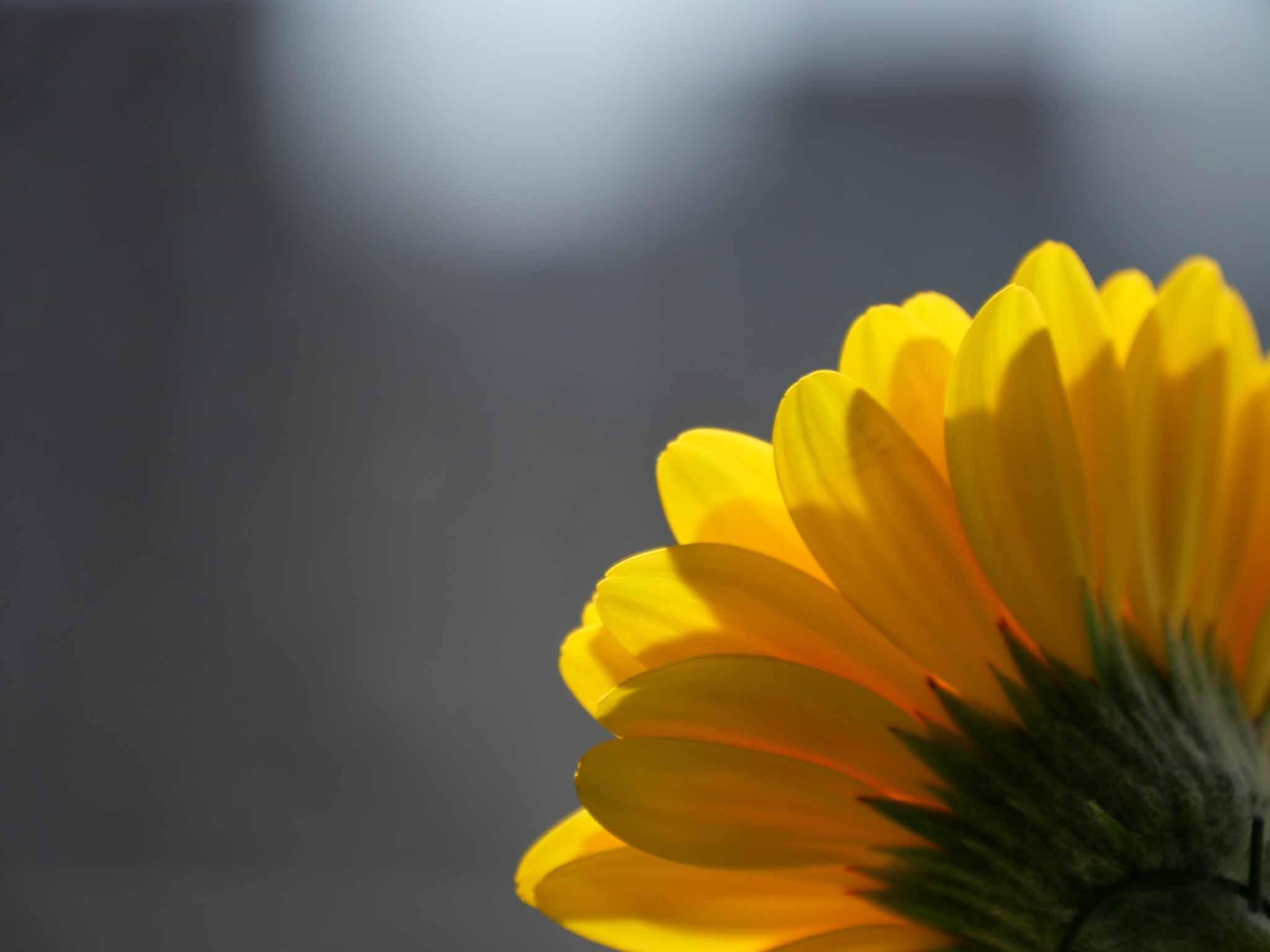 Germini jaune au soleil d'été