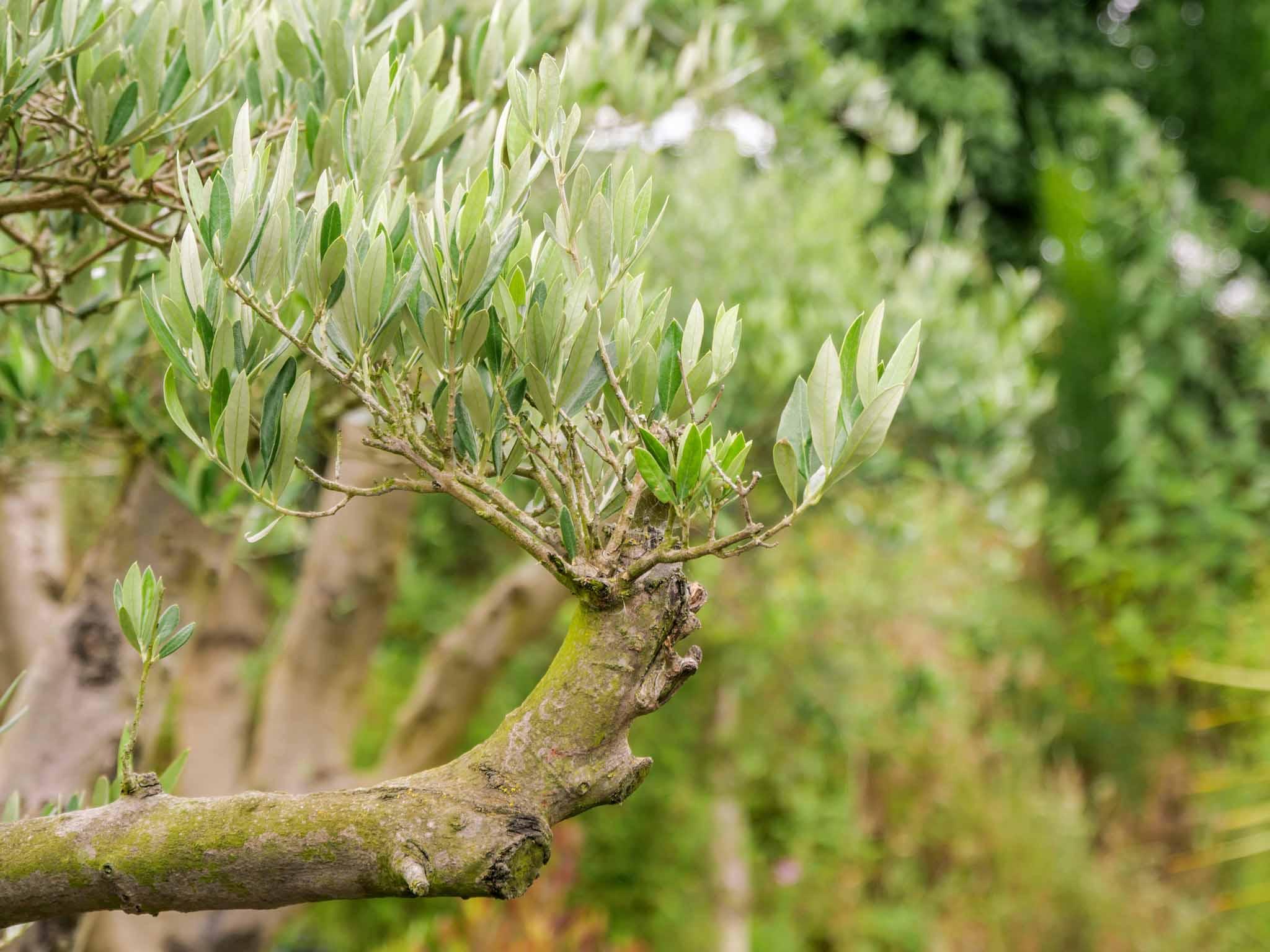 Olivier plant