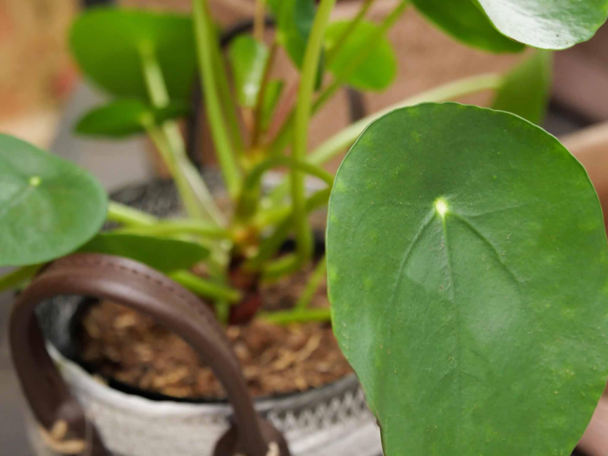 Plant Morlaix
