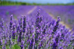 Lavender Oil Benefits for You and Your Family
