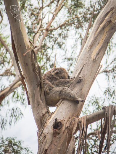 koala_conservation_centre_10